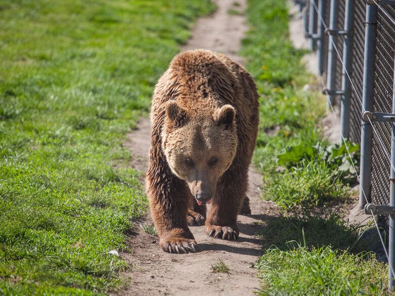 veresi-medvek